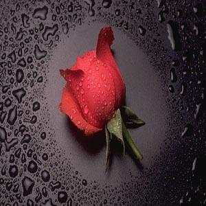 گل رز بر روی زمینه سیاه همراه با قطرات آب و شبنم بر روی آن
