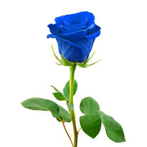 یک شاخه گل رز آبی