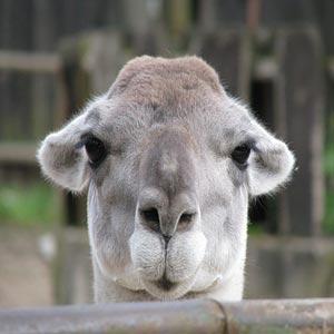 شتر متفکرانه نگاه می کند